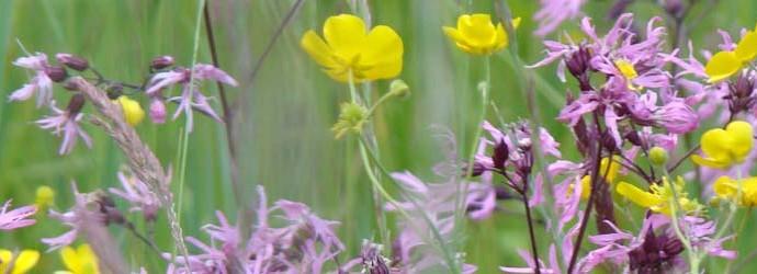 Fleurs des pâturages (Jura)
